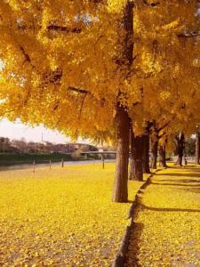 Joana Monteleone: A poesia da árvore de folhas douradas: a Gingko Biloba